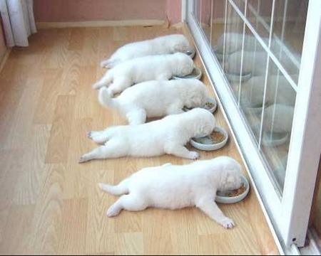 щенки бел