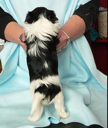 бивера щенок от Бьюти